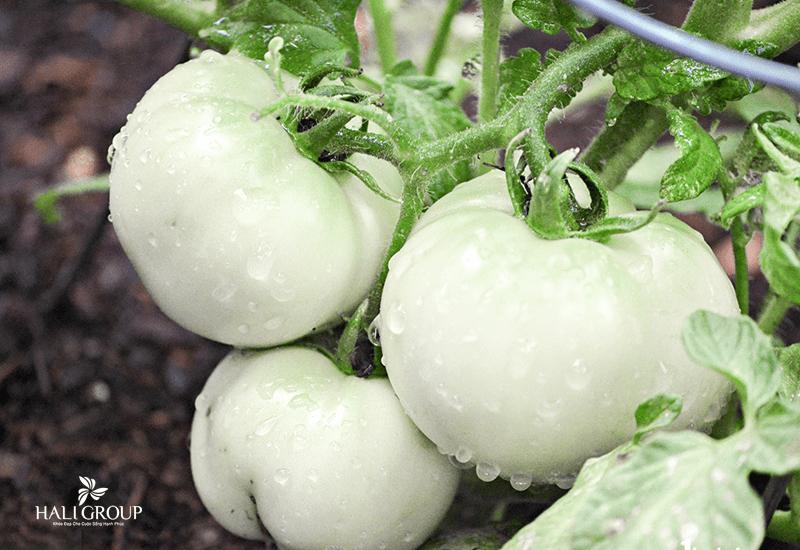 cà chua trắng trong viên uống sakura 1902