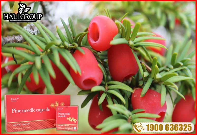 chiết xuất là thông đỏ có trong thành phần tinh dầu thông đỏ edally hàn quốc